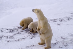Polar bears. Polar bear sow standing looking for danger Royalty Free Stock Photography