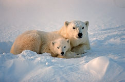 Polar bears. Polar bear with her cub, Canadian Arctic Royalty Free Stock Photo