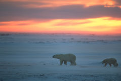 Polar bears Royalty Free Stock Photos