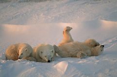 Polar bears. Polar bear with her cubs in Canadian Arctic Royalty Free Stock Photos