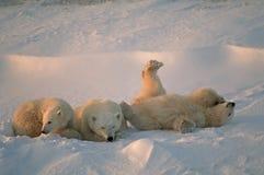 Polar bears Royalty Free Stock Photos