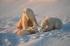 Polar bears. Polar bear with her young cubs in Canadian Arctic Royalty Free Stock Image