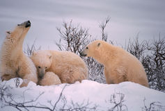 Polar bears. Polar bear with her cubs. Sow testing the wind Stock Photo