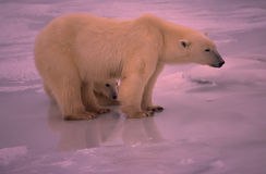 Polar bears. Polar bear with her cub Royalty Free Stock Images