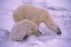 Polar bears. Polar bear shielding her cub from approaching male Stock Images