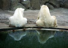 Polar bears. Sit together and think of a life royalty free stock photos