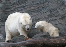 White Polar bears. Group of two white Polar bears, mother and child. Prague Zoo, Czech Stock Photos