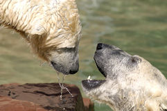 Polar bears. Two polar bears playing Stock Photos