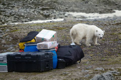Polar bears in Arctic. This bear still drinks milk, but curious Royalty Free Stock Images