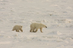 Polar bears in the arctic snow Royalty Free Stock Image