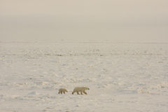 Polar bears in the arctic snow Royalty Free Stock Images
