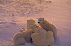 Polar bears in Arctic twilight Stock Photo