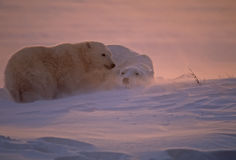 Polar bears backlit by low Arctic sun. Polar bear cub seeking mother's shelter during Arctic blizzard Royalty Free Stock Image