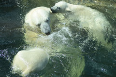 Polar Bears Bathing Stock Images