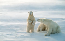 Polar bears in blowing snow storm,soft focus. Polar bears. Cub standing to see further Royalty Free Stock Images