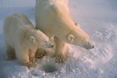 Polar bears in Canadiab Arctic. Polar bear with her cub standing over seal hole Stock Photography