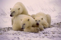 Polar bears in Canadiab Arctic Royalty Free Stock Images