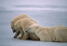 Polar bears in Canadian Arctic. Polar bear with her yearling cubs Stock Photo