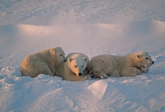 Polar bears in Canadian Arctic. Polar bear with her cubs of the year Stock Images