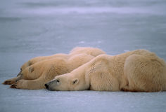 Polar bears in Canadian Arctic. Polar bear with her yearling cubs lying on frozen lake Royalty Free Stock Image