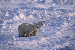 Polar bears in Canadian Arctic Royalty Free Stock Image