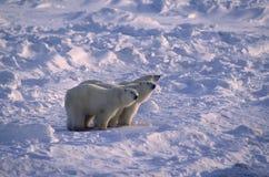 Polar bears in Canadian Arctic Royalty Free Stock Image