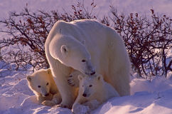 Polar bears in Canadian Arctic. Polar bear with her cubs Stock Image
