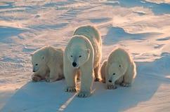 Polar bears in Canadian Arctic Stock Photos