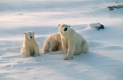 Polar bears in Canadian Arctic. Polar bear with her cubs,strong wind and blowing snow Stock Photography