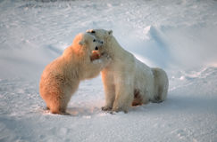 Polar bears in Canadian Arctic. Polar bear cub playing with his mother Royalty Free Stock Images