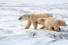 Polar bears in Canadian Arctic. Polar bear with her young cubs on Arctic tundra Stock Images