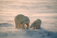 Polar bears in Canadian Arctic. Polar bear with her cub in Arctic gale with blowing snow Stock Photography