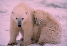 Polar bears in Canadian Arctic. Polar bear with her young cub in driving snow Royalty Free Stock Photos
