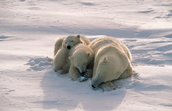 Polar bears in Canadian Arctic. Polar bear with cubs sleeping on Arctic tundra Stock Image