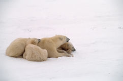 Polar bears in Canadian Arctic. Polar bear with her cubs on snow covered Arctic tundra Royalty Free Stock Photo