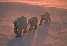 Polar bears in Canadian Arctic. Polar bear leading her cubs through blowing snow in low Arctic pink sunlight Stock Images