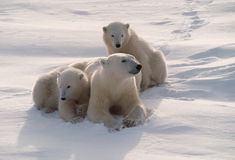 Polar bears in Canadian Arctic Stock Photo