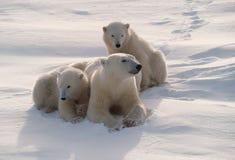 Polar bears in Canadian Arctic. Polar bear cubs with their mother Stock Photo