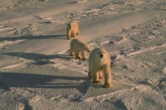 Polar bears in cold blue Arctic light Stock Photos