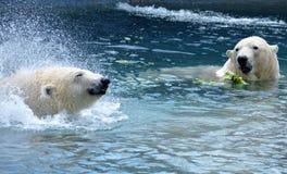 Polar Bears Eating. Two polar bears swimming and eating at the Toronto Zoo, Toronto Ontario, taken July 15, 2016 Royalty Free Stock Photo