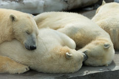 Polar bears family sleeping Royalty Free Stock Photo