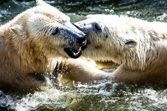 Polar bears fighting Stock Photography