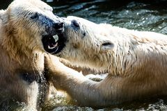 Polar bears fighting Royalty Free Stock Images