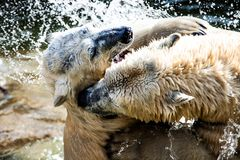 Polar bears fighting Stock Photo