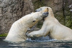 Polar bears fighting an playing Royalty Free Stock Photo