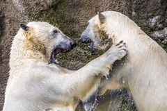 Polar bears fighting an playing Stock Photography