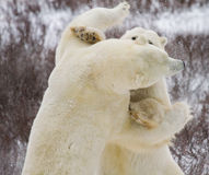 Polar bears fighting. Two polar bears fighting, sparring, and wrestling. one bear faces away from camera, one towards Royalty Free Stock Image