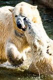 Polar bears fighting Stock Photos