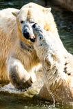 Polar bears fighting Stock Photos
