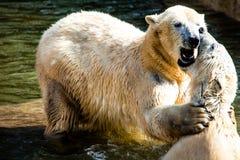 Polar bears fighting Royalty Free Stock Photo